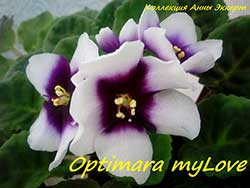 Фиалка Optimara MyLove (Holtkamp)
